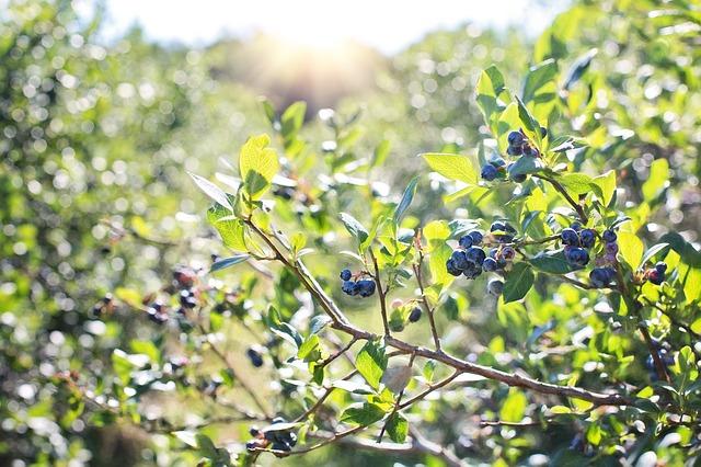 plody na rostlině